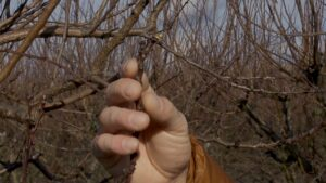 Pomii fructiferi, afectați în sezonul rece