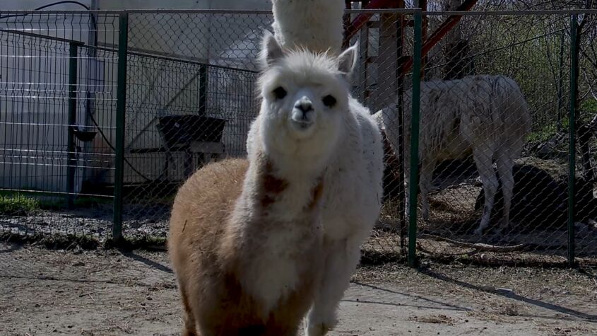 Luna, numele puiului de Alpaca de la Microrezervația Constanța
