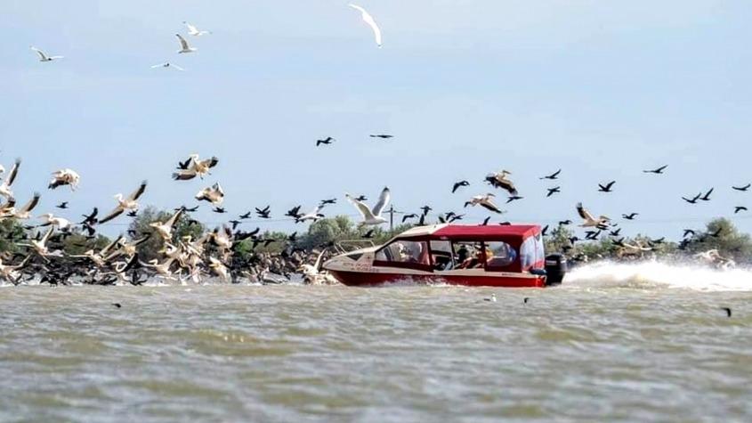 Pelicani răniți de un barcagiu teribilist
